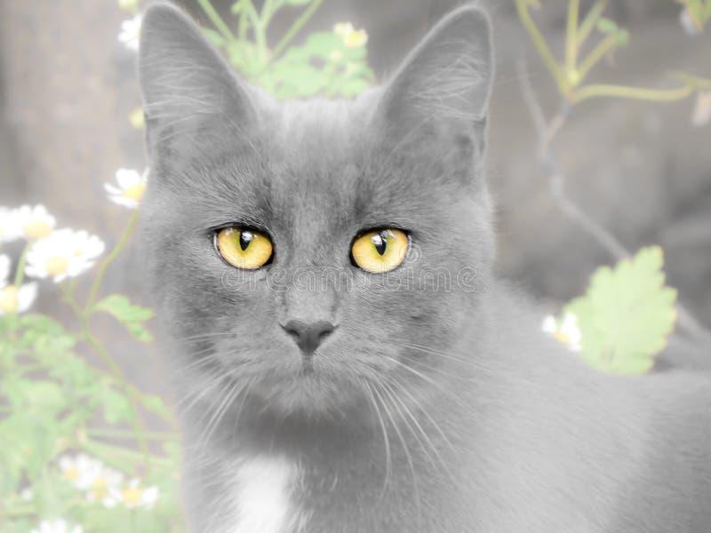 与凝视黄色眼睛的猫面孔 被弄脏的成为不饱和的作用 免版税图库摄影