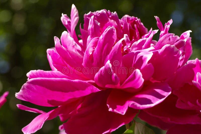与分开的瓣的明亮的桃红色牡丹花 美丽的桃红色牡丹花 免版税库存照片