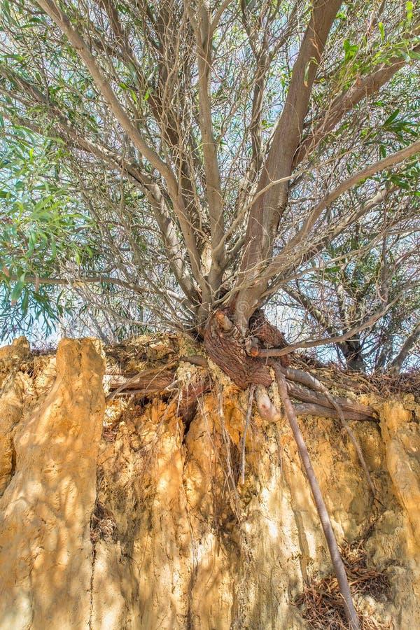 与分支和根的树在峭壁 免版税库存照片