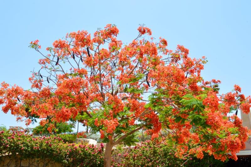 与分支的Delonix皇家树与红色开花的花,与在一种热带手段的绿色叶子反对在清楚的蓝天 免版税库存图片