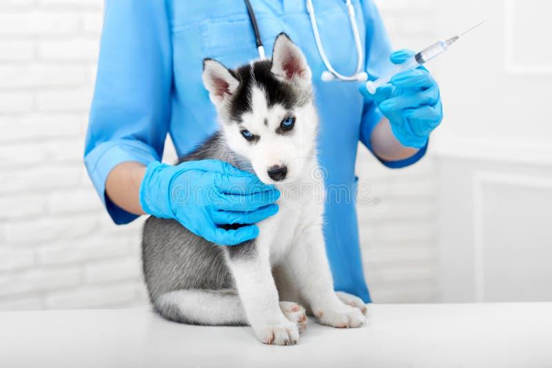 与刺的兽医做的射入小狗的 图库摄影
