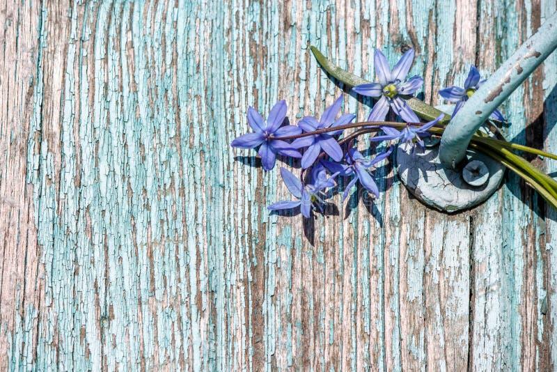 与剥蓝色油漆和蓝色snowdrops的木背景 免版税图库摄影