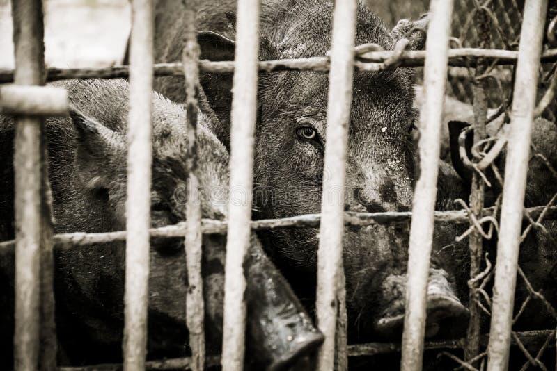 与剧烈的口气的猪 免版税图库摄影