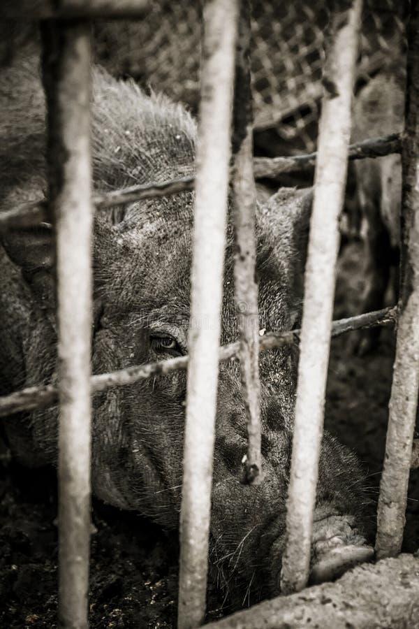 与剧烈的口气的猪 免版税库存照片