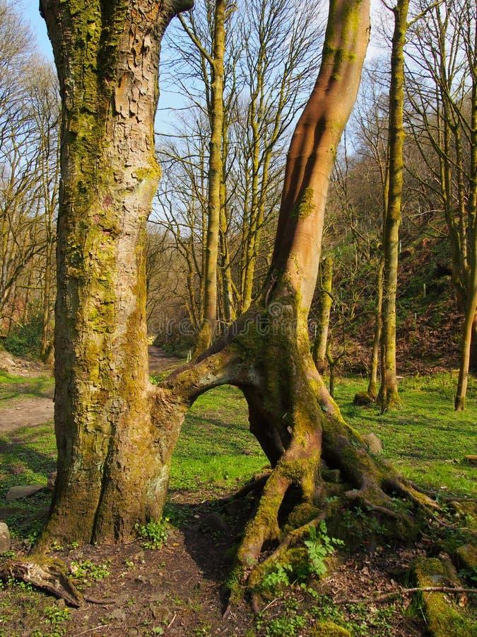 与加入的高山毛榉树在清除在明亮的早春天阳光下的一个草覆盖的森林里暴露了扭转的根 图库摄影