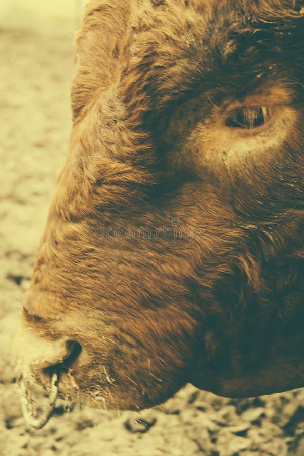 与动物之鼻圈的公牛 库存照片