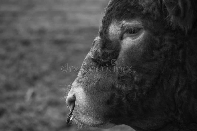 与动物之鼻圈的公牛 免版税图库摄影