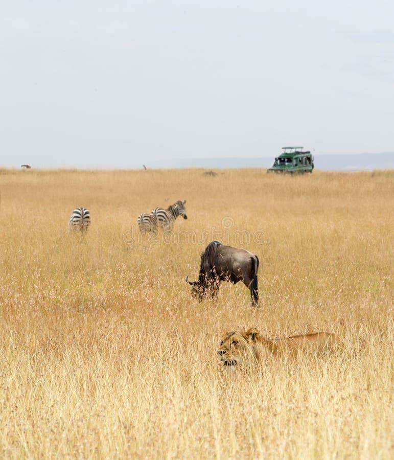 与动物和车的肯尼亚徒步旅行队 免版税库存照片