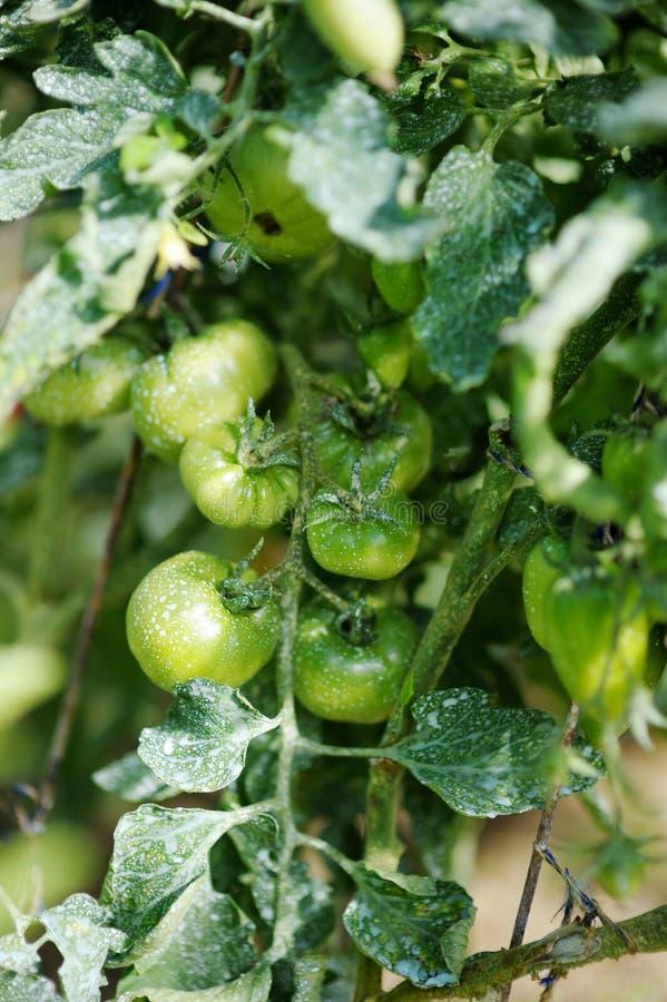 与化工混合物盆射的绿色西红柿 库存图片