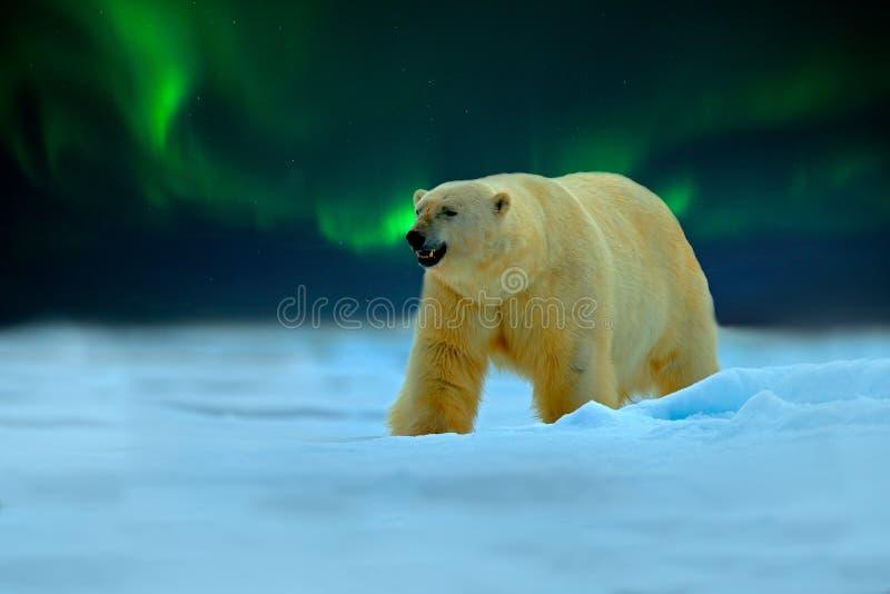 与北极光的北极熊,极光Borealis 与星的夜图象,黑暗的天空 在冰的危险看的野兽与雪, 库存照片