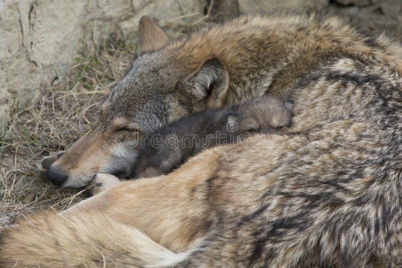 与北美灰狼和小狗的休息时间 免版税库存图片