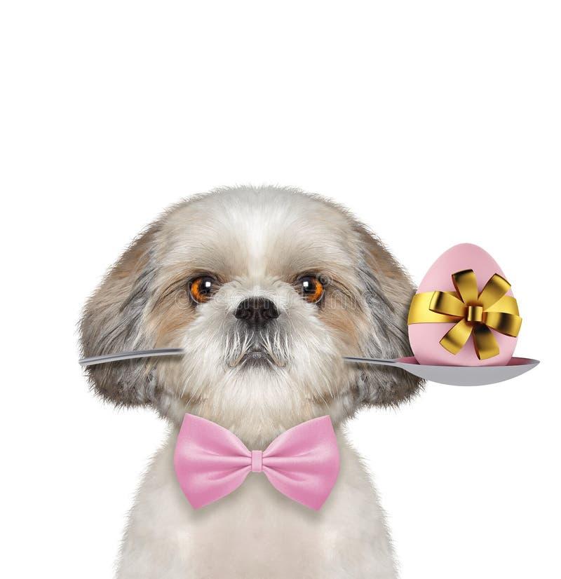 与匙子和复活节彩蛋的Shitzu狗 查出在白色 免版税库存照片