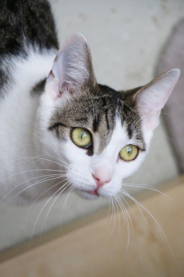 与华美的眼睛的美好的猫头像 免版税库存照片