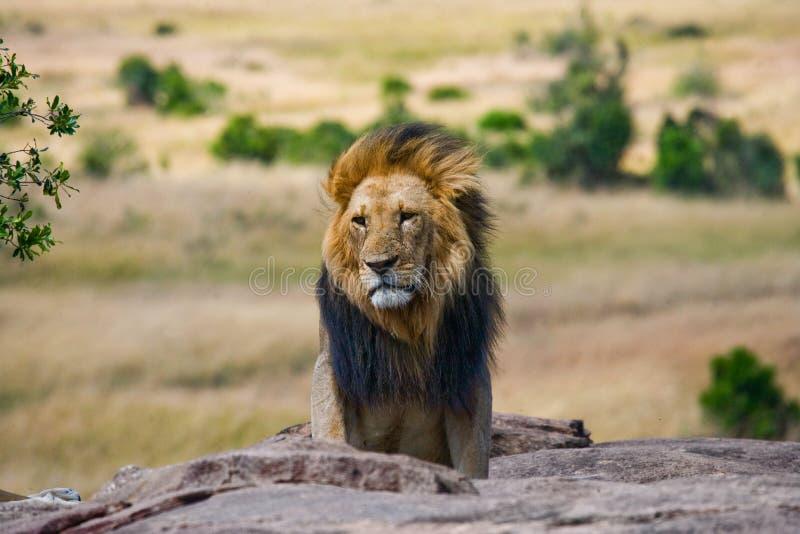 与华美的鬃毛的大公狮子在一个大岩石 国家公园 肯尼亚 坦桑尼亚 mara马塞语 serengeti 库存照片