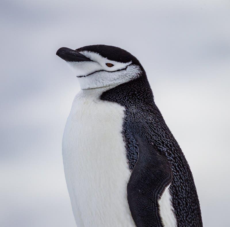 与南极洲的明显的下巴标号的Chinstrap企鹅 免版税库存照片