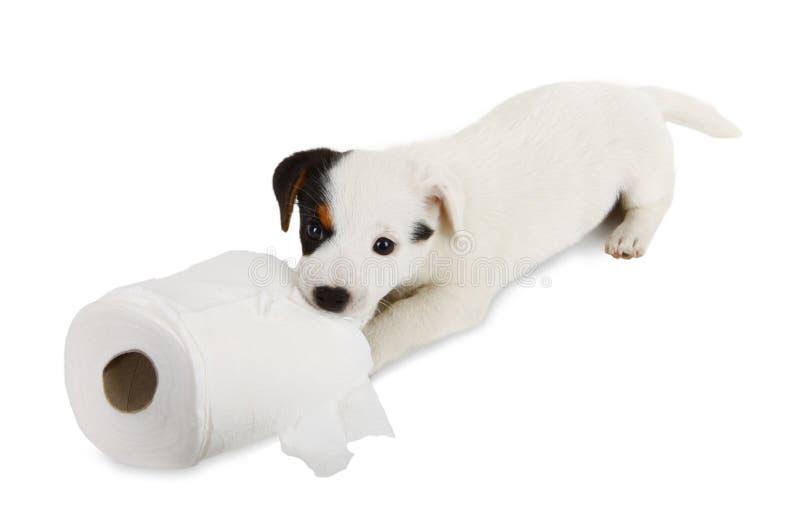 与卫生纸的杰克罗素小狗 图库摄影