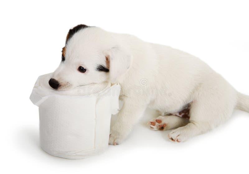 与卫生纸的杰克罗素小狗 免版税图库摄影