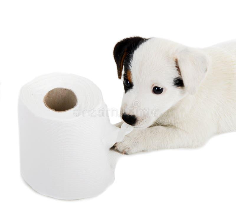 与卫生纸的杰克罗素小狗 库存图片