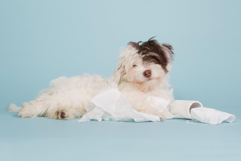 与卫生纸的逗人喜爱的临时工小狗 免版税库存图片