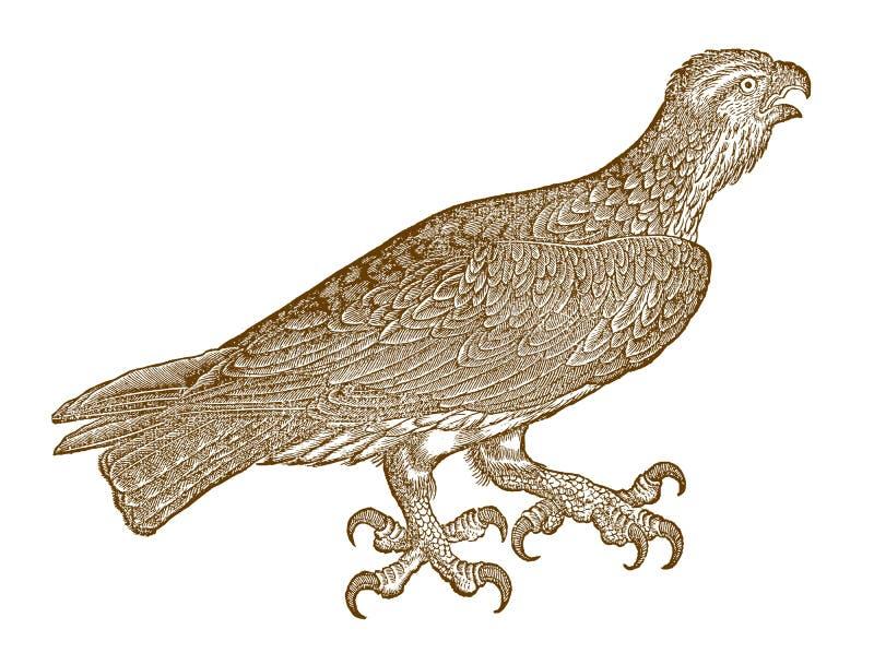 与印象深刻的爪的尖叫的白鹭的羽毛或海鹰pandion haliaetus 库存例证
