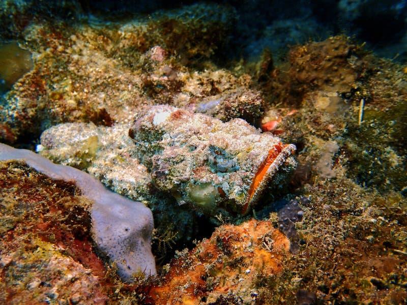 与危险石头鱼水中世界的特写镜头在沙巴,婆罗洲 库存图片
