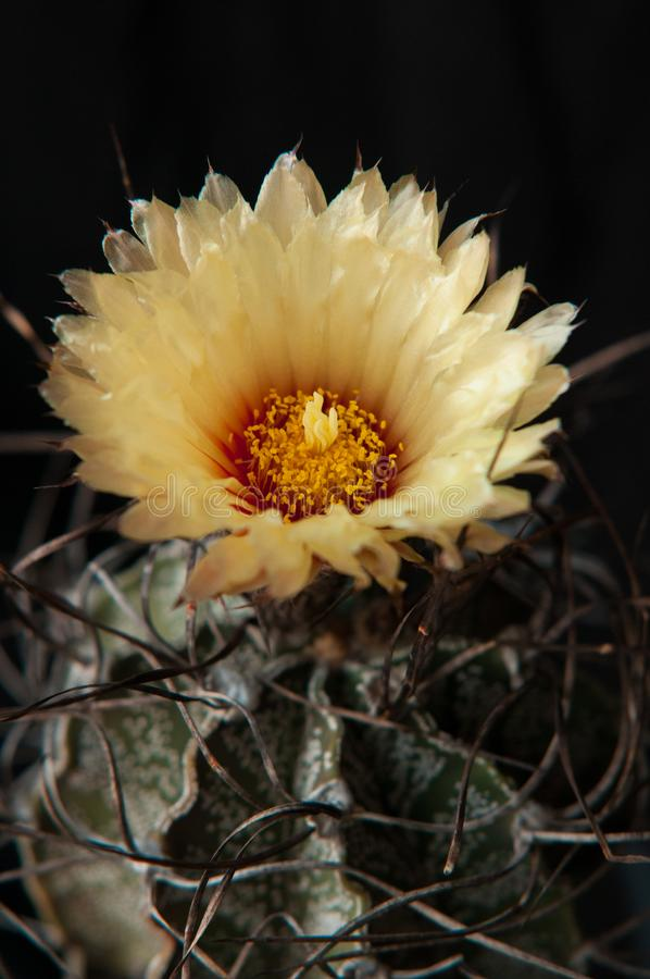 与卷曲脊椎Astrophytum capricorne的墨西哥仙人掌与与红色中心的黄色花 开花的沙漠植物细节在bla的 免版税库存照片