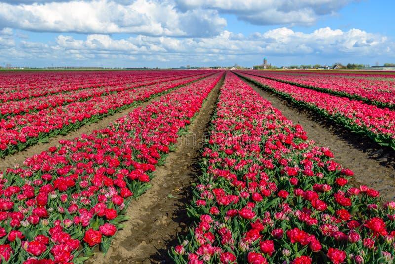 与双的长的花床朝向明亮的红色开花的郁金香b 库存图片