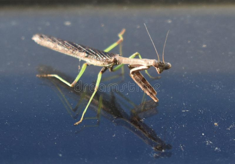 与反射的公螳螂在窗口 图库摄影