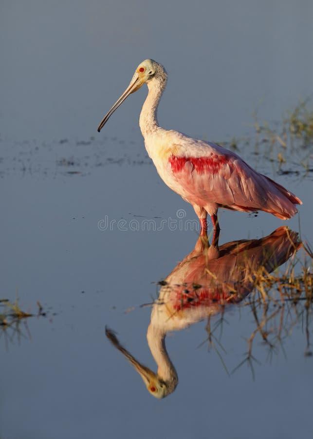 与反射的粉红琵鹭-梅里特岛野生生物Refu 库存照片
