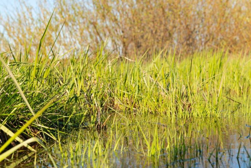 与反射的绿色春天草在作为背景的水中 免版税库存图片