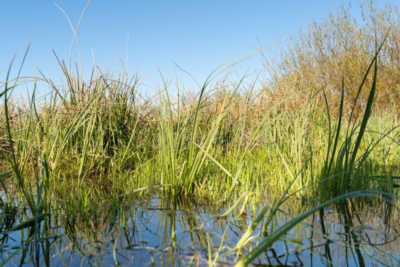 与反射的绿色春天草在作为背景的水中 库存图片