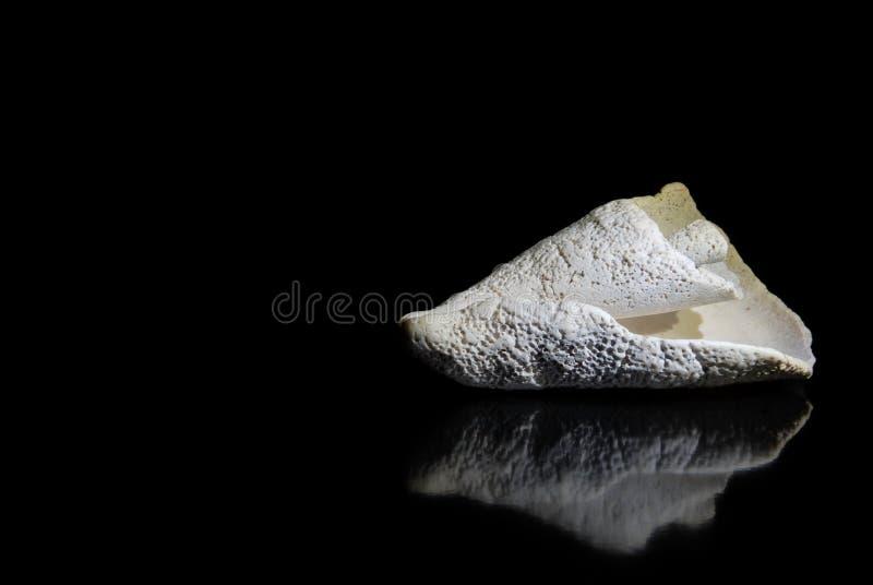 与反射的美丽的贝壳在黑背景 库存照片