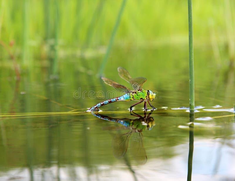 与反射的蜻蜓在水中 免版税库存图片