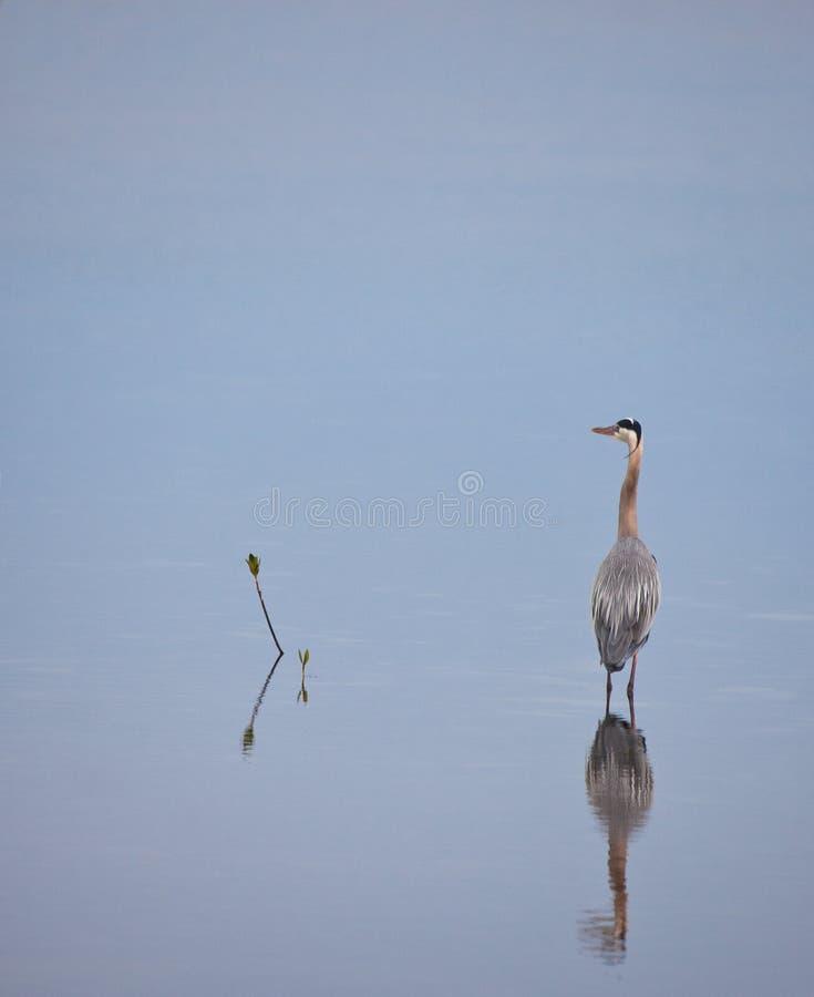 与反映的伟大蓝色的苍鹭的巢 免版税库存图片
