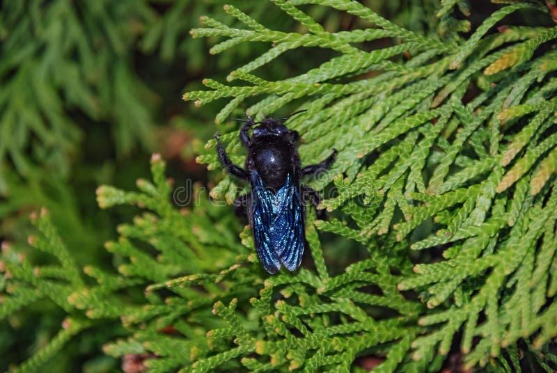 与发光的翼的黑蝇在一个绿色分支 免版税库存照片
