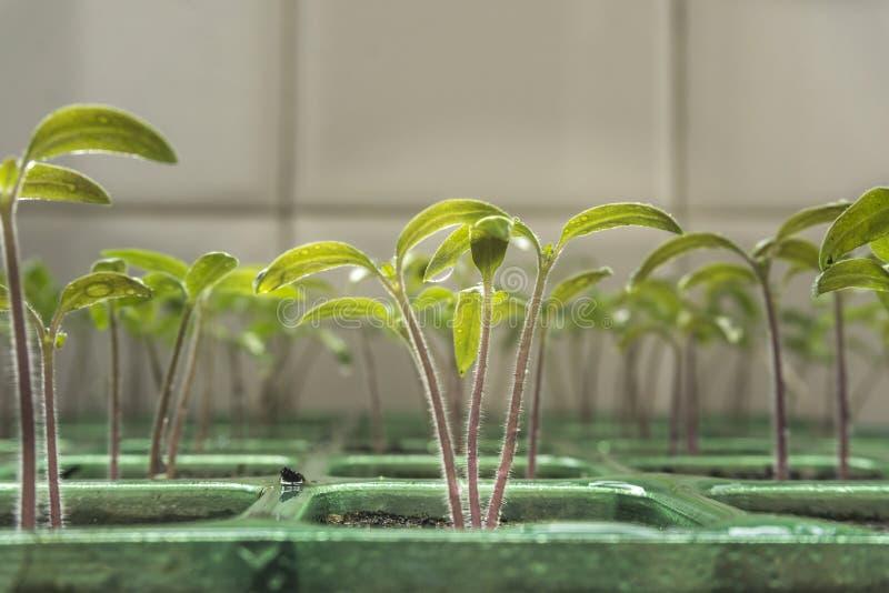 与发芽蕃茄年轻的幼木的播种  库存照片