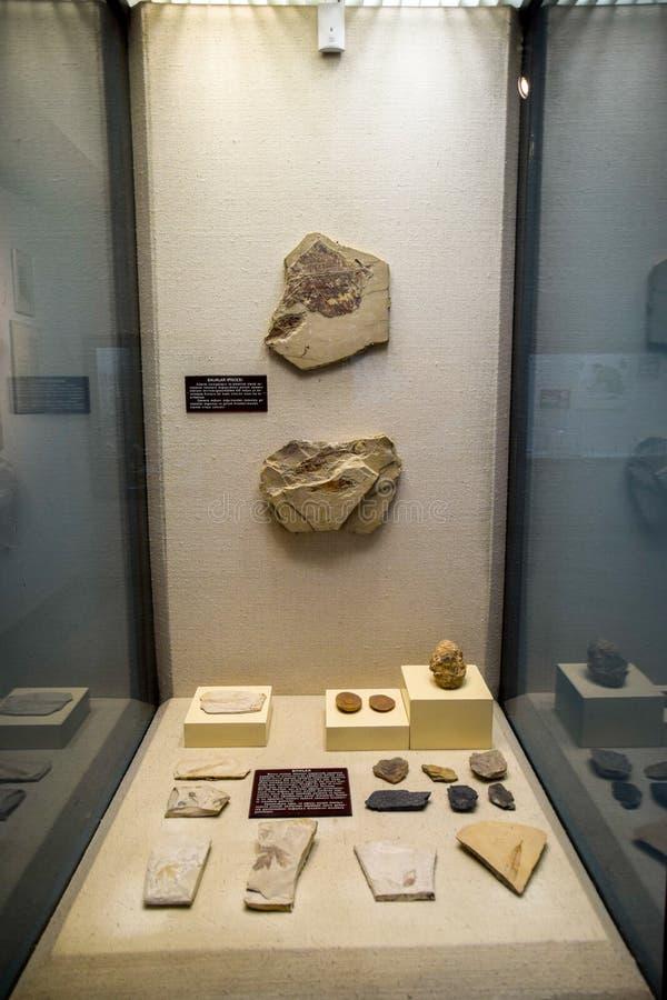 与古老软体动物和鱼石化壳的博物馆部门  炸药僵化了遗骸 库存照片