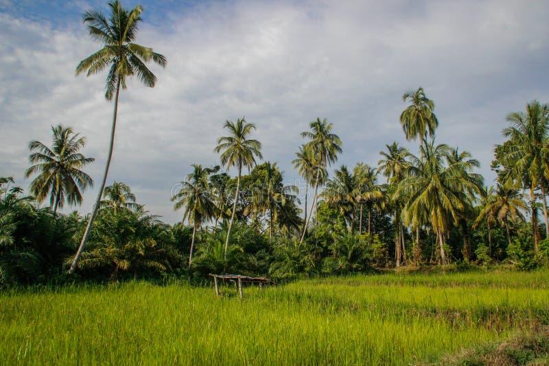 与可可椰子的鲜绿色的米领域 印度尼西亚,苏门答腊 库存照片