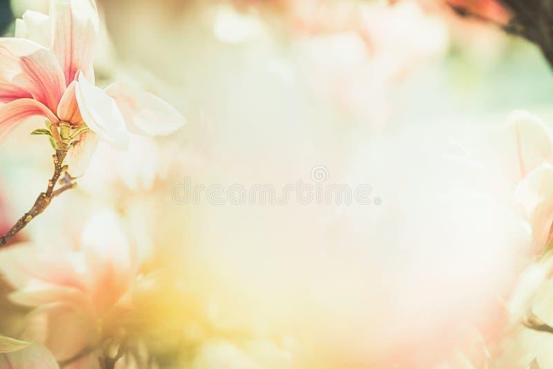 与可爱的木兰开花,框架,春天自然,淡色的春天花卉自然背景 免版税图库摄影