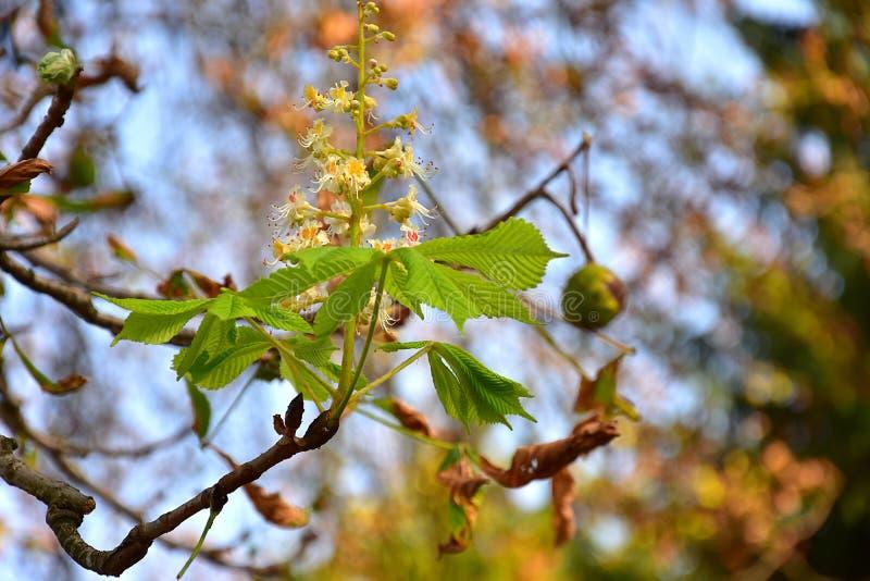 与叶子、果子和花的狂放的栗子分支 免版税库存图片