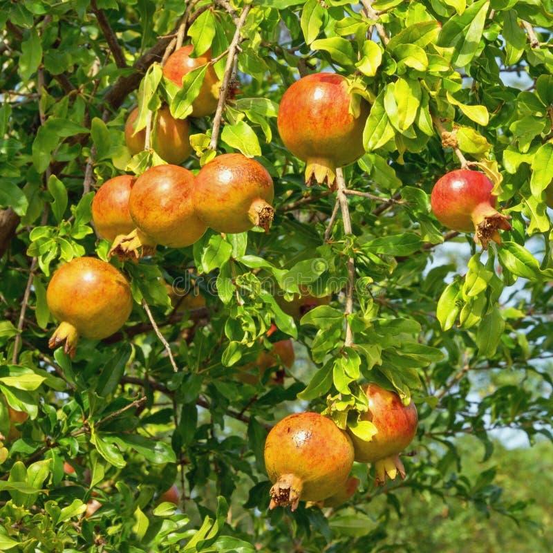?? 与叶子和成熟果子的石榴树矮石榴树分支  免版税库存图片
