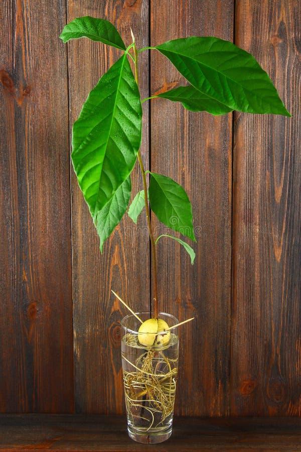 与叶子和根的一个鲕梨新芽在一杯水 一棵年轻鳄梨树 木棕色墙壁和桌 免版税图库摄影