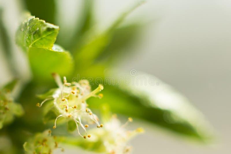 与叶子特写镜头、雌蕊和雄芯花蕊,春天题材的樱桃花 文本的,选择聚焦,夏天概念空间 库存图片