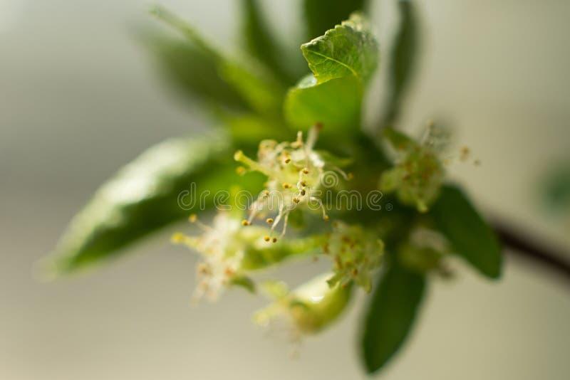 与叶子特写镜头、雌蕊和雄芯花蕊,春天题材的樱桃花 文本的,选择聚焦,夏天概念空间 免版税库存照片