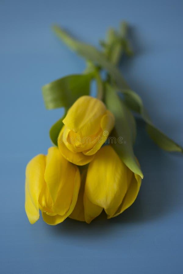 与叶子的三黄色在一张蓝色木桌上的郁金香和词根 库存图片