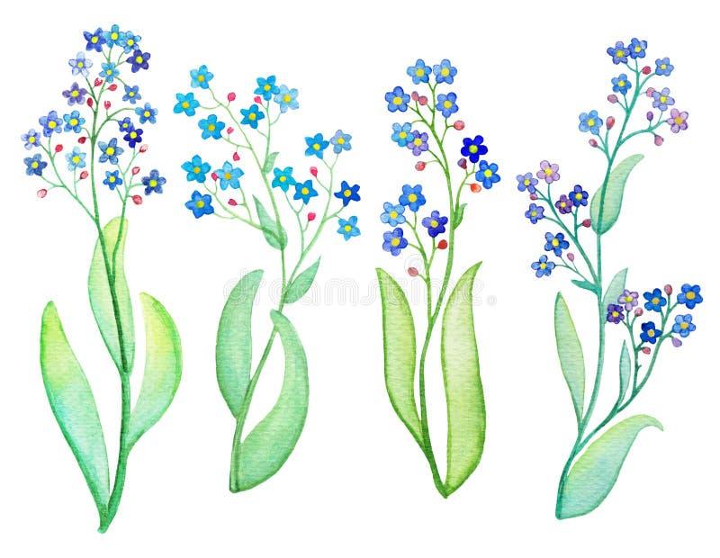 与叶子的勿忘草蓝色花分支 背景绘画水彩白色 库存例证