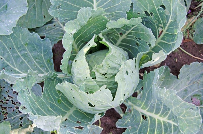 与叶子的圆白菜在庭院里 免版税库存照片
