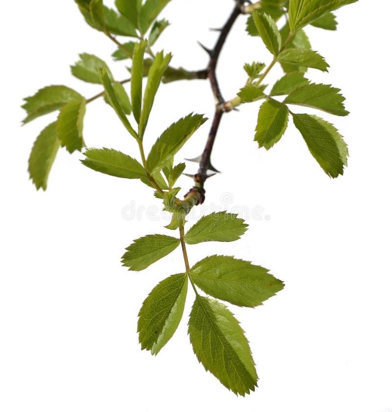 与叶子的大树枝 免版税库存照片