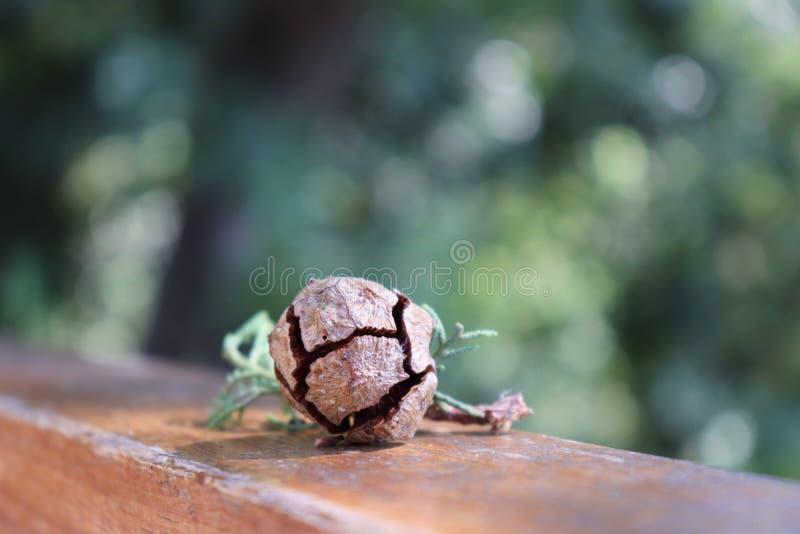 与叶子的小的杉木锥体 库存图片