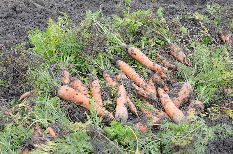 与叶子的新鲜的红萝卜在堆的地面 免版税库存照片